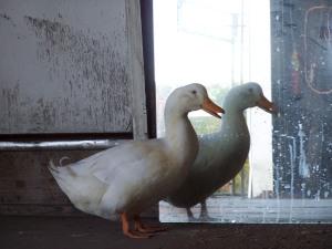 Bob, the duck